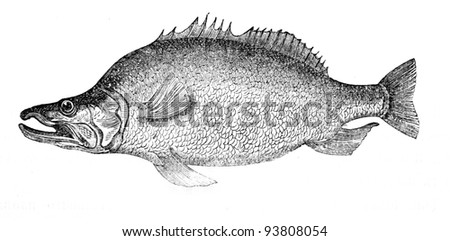 Old engraving of The Baggera fish. Created by Neuville, published on Travel to upper reaches of the Nile and exploration of its sources by Sir Samuel White Baker (British explorer), Moscow, 1868 - stock photo