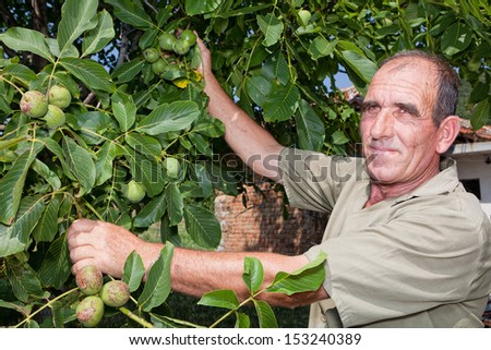 Old farmer in Bulgaria checking his walnut crop
