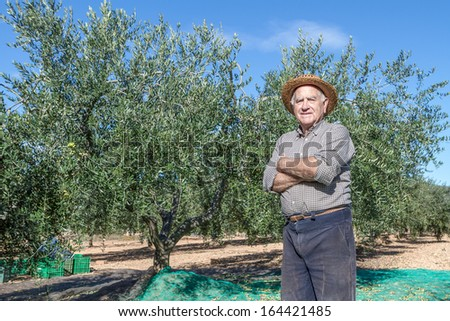 Old farmer is doing the harvest of olives for the oil  - stock photo