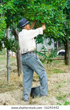 Old farmer picking plums from a tree