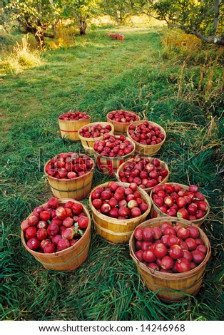 Old-fashioned apple orchard harvest - stock photo