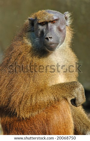Old female guinean baboon acquires a tan, on its head partially there is no wool - stock photo