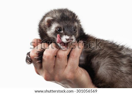 Old ferret on white background