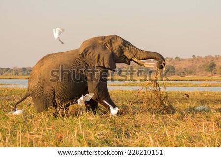 Old foraging elephant surprises birds in Chobe National Park, Botswana  - stock photo