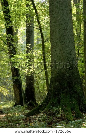 Old forest full of light, end of summer, boreal forest, poland,europe