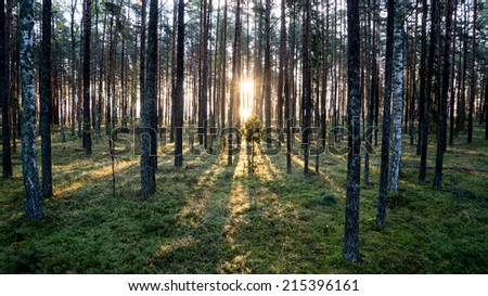 Old forest with moss covered trees and rays of sun in summer