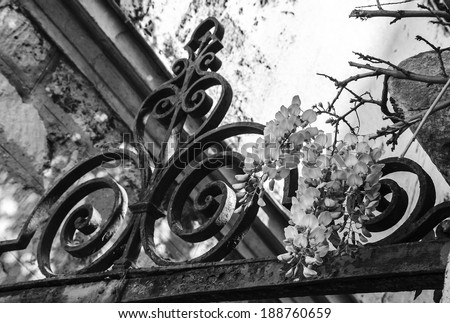 Old forging gate with ornament (entry to abandoned manor)  and stone brick wall overgrown with blooming Wisteria flowers . Light and shadow. Aged photo. Black and white. - stock photo