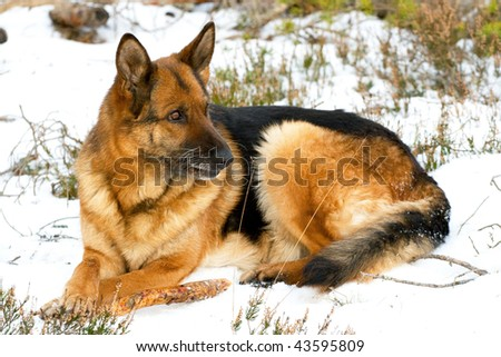 old German sheepdog laying in winter wood