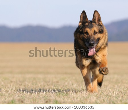 old german sheepdog running - stock photo