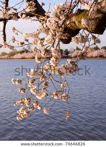Old gnarled tree by Tidal Basin and surrounded by pink Japanese Cherry blossoms - stock photo
