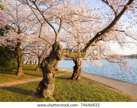 Old gnarled tree by Tidal Basin and surrounded by pink Japanese Cherry blossoms