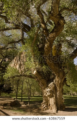 old gnarly tree in state park of Utah, USA - stock photo