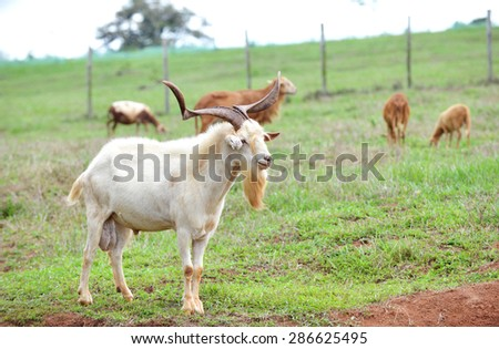 Old Goat with a big set of horns looking after his females - stock photo