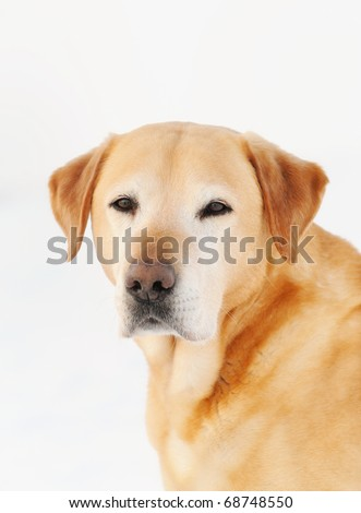 old  Golden Labrador Retriever outdoor  in  the snow of the white background - stock photo