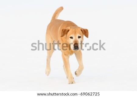old  Golden Labrador Retriever  runs on snow outdoor   of the white background - stock photo