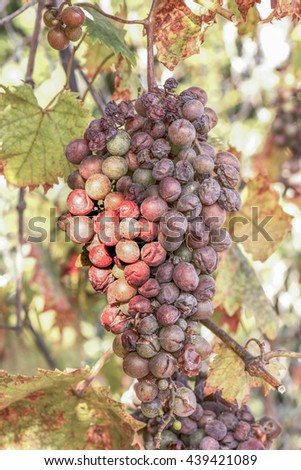 old grapes in nature, concept for old wine, grape or grapes in nature