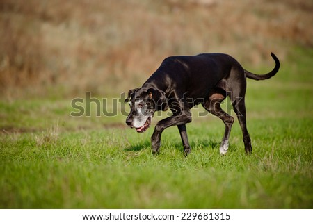 old great dane dog - stock photo