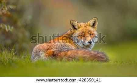 Old grey European red fox (Vulpes vulpes) resting in grass and looking backward. Red Foxes are adaptable and opportunistic omnivores and are capable of successfully occupying urban areas. - stock photo