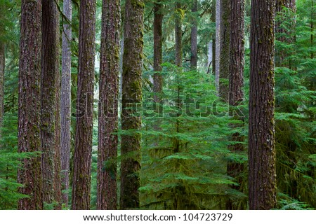 Old growth Hemlock and Douglas-Fir Trees in Olympic National Park,WA - stock photo