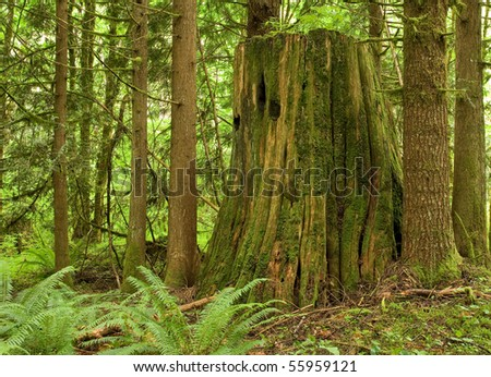 old growth tree stump