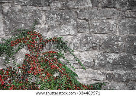 Old grunge stonewall with a climbing plant with red berries  - stock photo