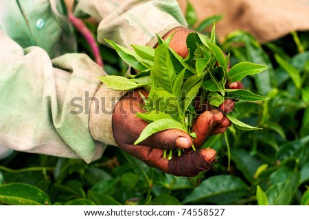 Old hand holding tea leaf - stock photo