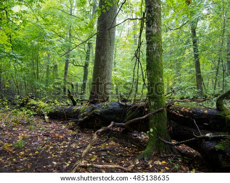 Old hornbeam moss wrapped tree and broken oak in shady rich deciduous stand in fall morning light,Bialowieza Forest,Poland,Europe