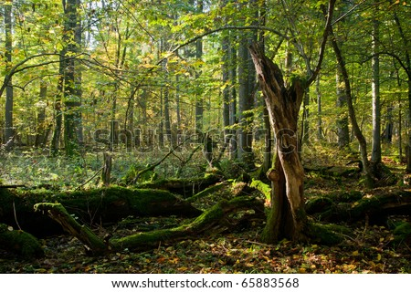 Old hornbeam tree broken lying and sun above in autumnal landscape of deciduous stand - stock photo