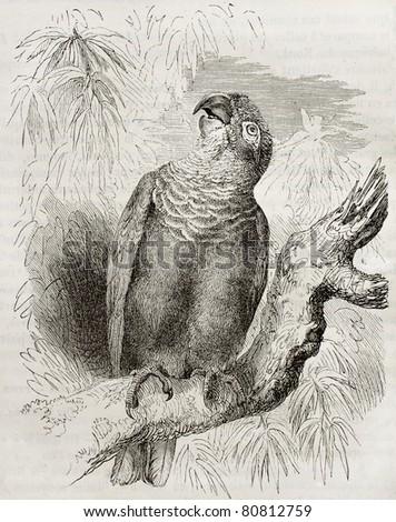 Old illustration of a Blue-headed parrot (Pionus menstruus). Created by Kretschmer and Schmid, published on Merveilles de la Nature, Bailliere et fils, Paris, 1878 - stock photo