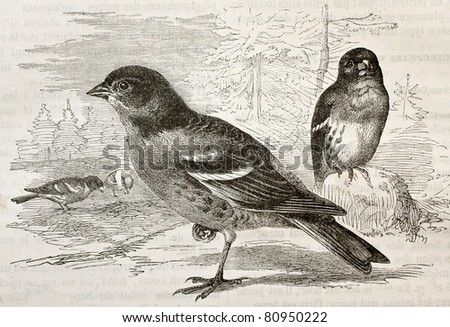 Old illustration of a Brambling (Fringilla montifringilla). Created by Kretschmer and Schmid, published on Merveilles de la Nature, Bailliere et fils, Paris, 1878 - stock photo