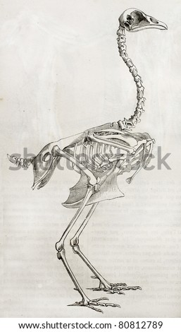 Old illustration of a cock's skeleton. By unidentified author, published on Merveilles de la Nature, Bailliere et fils, Paris, 1878 - stock photo