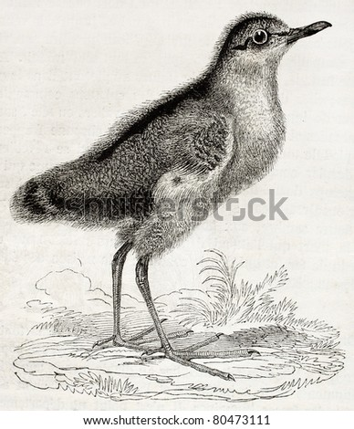 Old illustration of a Dunlin chick (Calidris alpina). By unidentified author, published on Magasin Pittoresque, Paris, 1850 - stock photo