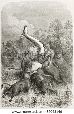 Old illustration of a Lions pack attacking a giraffe. Created by Dore after Anderson, published on Le Tour du Monde, Paris, 1860
