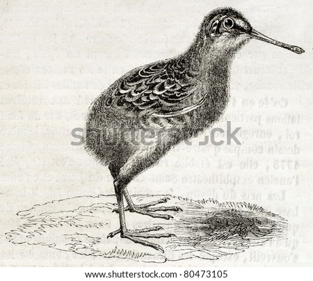 Old illustration of a snipe chick (Scolopax gallinago). By unidentified author, published on Magasin Pittoresque, Paris, 1850 - stock photo