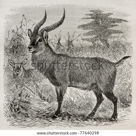 Old illustration of a waterbuck - Kobus ellipsiprymnus - in Uganda. Created by Wolff, published on Le Tour du Monde, Paris, 1864 - stock photo