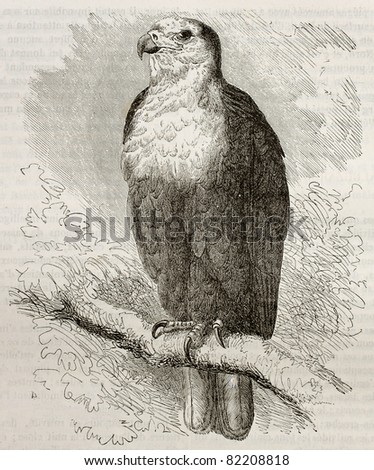 Old illustration of African Fish Eagle (Haliaeetus vocifer). Created by Kretschmer, published on Merveilles de la Nature, Bailliere et fils, Paris, 1878 - stock photo