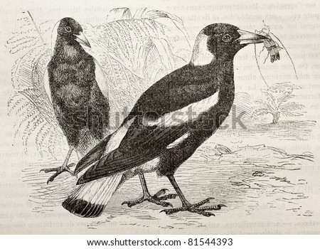 Old illustration of Australian Magpie (Cracticus tibicen). Created by Kretschmer and Wendt), published on Merveilles de la Nature, Bailliere et fils, Paris, 1878 - stock photo