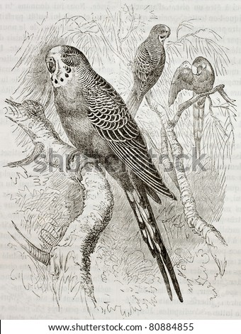 Old illustration of Budgerigar (Melopsittacus undulatus). Created by Kretschmer and Jahrmargt, published on Merveilles de la Nature, Bailliere et fils, Paris, 1878 - stock photo