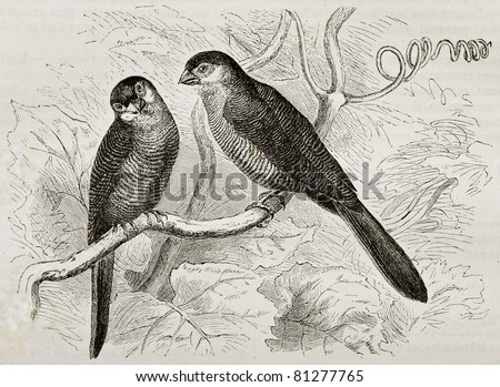 Old illustration of Common Waxill (Estrilda astrild). Created by Kretschmer and Niedermann, published on Merveilles de la Nature, Bailliere et fils, Paris, 1878 - stock photo