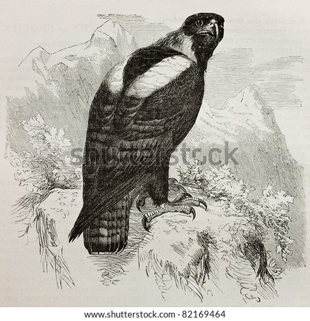 Old illustration of Eastern Imperial Eagle (Aquila heliaca) . Created by Kretschmer and Jahrmargt, published on Merveilles de la Nature, Bailliere et fils, Paris, 1878 - stock photo