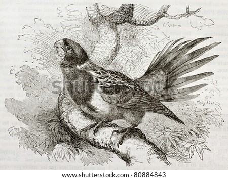 Old illustration of Eastern Rosella (Platycercus eximius). Created by Kretschmer and Schmid, published on Merveilles de la Nature, Bailliere et fils, Paris, 1878