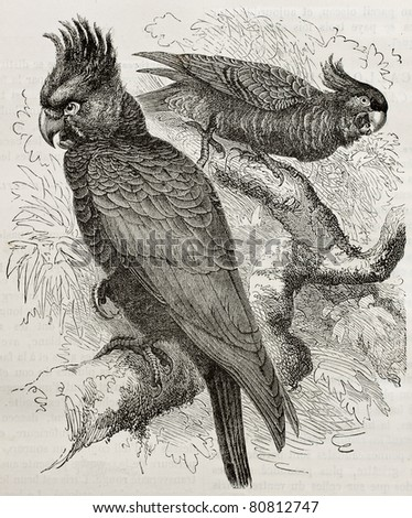 Old illustration of Gang-gang Cockatoo (Callocephalon fimbriatum). Created by Kretschmer, published on Merveilles de la Nature, Bailliere et fils, Paris, 1878 - stock photo