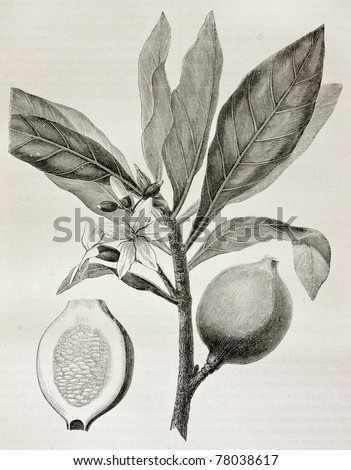 Old illustration of Genipa americana.  Created by Riou, published on Le Tour du Monde, Paris, 1864 - stock photo