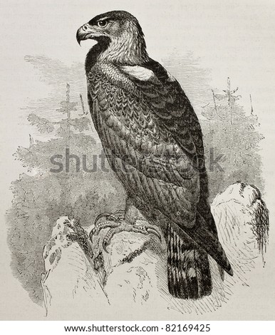Old illustration of Golden Eagle (Aquila Chrysaetos). Created by Kretschmer, published on Merveilles de la Nature, Bailliere et fils, Paris, 1878 - stock photo