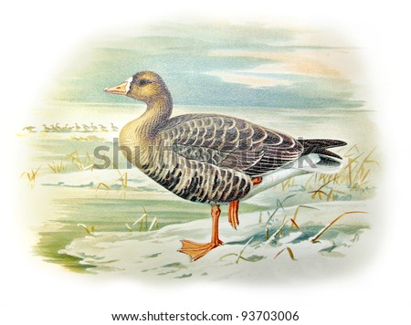 Old illustration of Greater White-fronted Goose (Anser albifrons). Created by Frederick William Frohawk. Published on Geese of Russia by Sergey Alferaki, Moscow, 1904