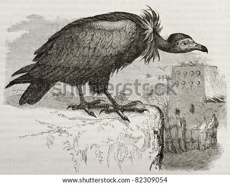 Old illustration of Hooded Vulture (Necrosyrtes monachus). Created by Kretschmer and Jahrmargt, published on Merveilles de la Nature, Bailliere et fils, Paris, 1878 - stock photo