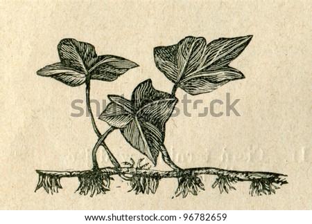 Old illustration of ivy by unknown artist from Budowa i Zycie rosliny, author Wladyslaw Kozlowski, publishing house M.Arcta, Warsaw, 1908 - stock photo
