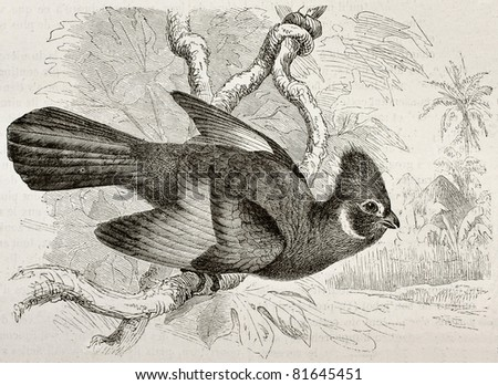 Old illustration of Knysna Touraco (Tauraco corythaix). Created by Kretschmer, published on Merveilles de la Nature, Bailliere et fils, Paris, 1878 - stock photo