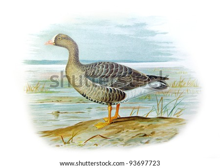 Old illustration of Lesser White-fronted Goose (Anser erythropus). Created by Frederick William Frohawk. Published on Geese of Russia by Sergey Alferaki, Moscow, 1904