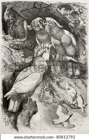 Old illustration of Major Mitchell Cockatoo (Lophocroa leadbeateri).  Created by Kretschmer and Jahrmargt, published on Merveilles de la Nature, Bailliere et fils, Paris, 1878 - stock photo